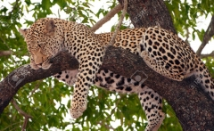 7078464-Leopard-Panthera-pardus-sleeping-on-the-tree-in-nature-reserve-in-South-Africa-Stock-Photo