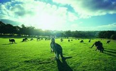 Kangaroos on Anglesea Golf Course